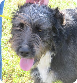 Labradoodle Mix Dog for adoption in Spring Valley, New York - Louie