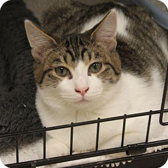 Domestic Shorthair Kitten for adoption in Naperville, Illinois - LA Sparks