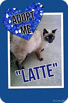 Siamese Cat for adoption in Arlington/Ft Worth, Texas - Latte