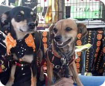 Chihuahua/Dachshund Mix Dog for adoption in Kingwood, Texas - Gracie and Gladys