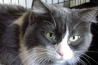 Domestic Longhair Cat for adoption in Scottsdale, Arizona - Dakotah