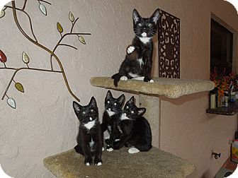 Domestic Shorthair Kitten for adoption in Tallahassee, Florida - 'Festive Four' - Angel