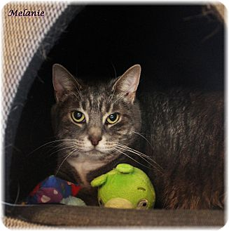 Domestic Shorthair Cat for adoption in Welland, Ontario - Melanie