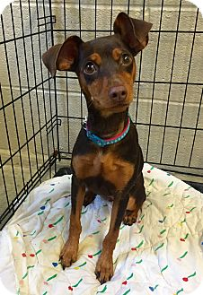 Miniature Pinscher Mix Puppy for adoption in Wilmington, Delaware - Simone