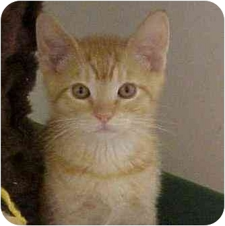 Domestic Shorthair Kitten for adoption in Spokane, Washington - Aslan