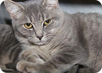Domestic Shorthair Cat for adoption in Marietta, Ohio - Ernie (Neutered)