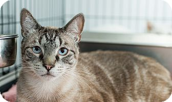 Siamese Cat for adoption in Los Angeles, California - Baron