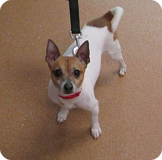 Chihuahua/Jack Russell Terrier Mix Dog for adoption in Norwalk, Connecticut - Hamlet