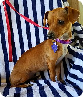 Chihuahua Mix Dog for adoption in Pittsburgh, Pennsylvania - Toucan