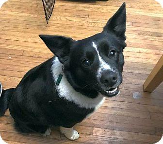 Border Collie/Corgi Mix Dog for adoption in Columbus, Ohio - Phoebe