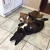 Adopt A Pet :: Mystique - Orlando, FL