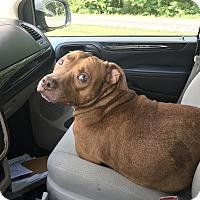 Adopt A Pet :: Ceasar - sanford, NC