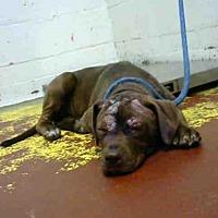 Adopt A Pet :: THUNDER - Atlanta, GA