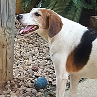 Foxhound Dog for adoption in Byhalia, Mississippi - Heidi