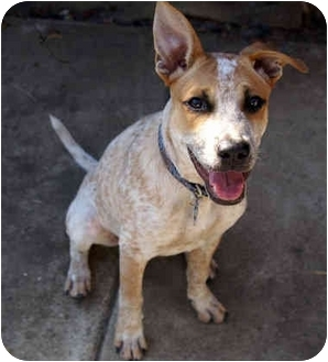 Australian Cattle Dog/Boxer Mix Puppy for adoption in Phoenix, Arizona - Benny