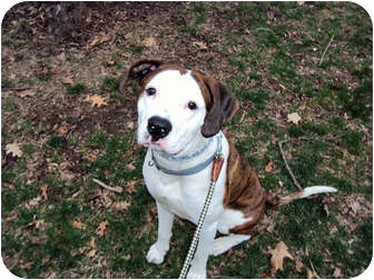 American Bulldog Dog for adoption in Indianapolis, Indiana - Louie