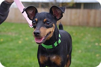 Miniature Pinscher Dog for adoption in Elyria, Ohio - Bella