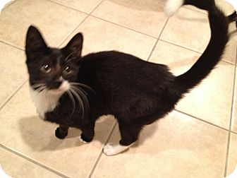 Domestic Shorthair Kitten for adoption in East Hanover, New Jersey - Van Gogh