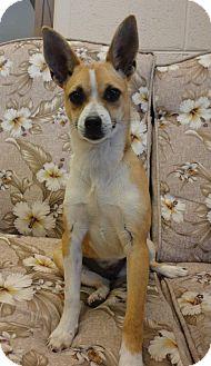 Basenji/Chihuahua Mix Dog for adoption in Marietta, Georgia - Roxy