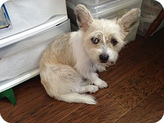 Westie, West Highland White Terrier Mix Dog for adoption in Kingwood, Texas - Gracie