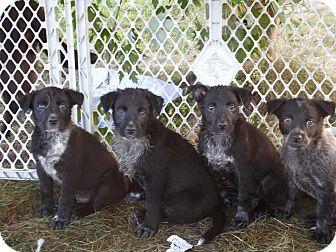 Labrador Retriever/Blue Heeler Mix Puppy for adoption in La Crosse, Wisconsin - Puppies