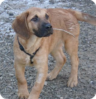 Mastiff/Shepherd (Unknown Type) Mix Puppy for adoption in Coudersport, Pennsylvania - ROCKY