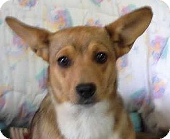 Corgi Mix Dog for adoption in Avon, New York - Iris