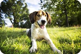 Treeing Walker Coonhound Mix Dog for adoption in Lowell, Massachusetts - Tacoma