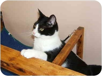Domestic Shorthair Cat for adoption in Sterling Heights, Michigan - Blurr