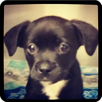 Labrador Retriever Mix Puppy for adoption in Grand Bay, Alabama - Memphis