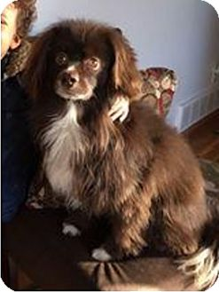 Cocker Spaniel/Pekingese Mix Dog for adoption in Union Grove, Wisconsin - Cocoa