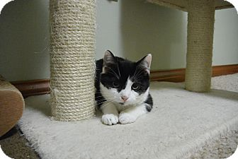 Domestic Shorthair Cat for adoption in Cincinnati, Ohio - Omaha