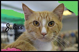 Domestic Shorthair Cat for adoption in Wichita Falls, Texas - Julius
