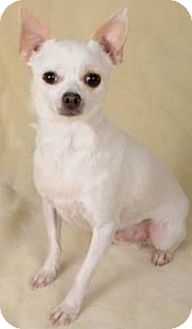 Chihuahua Dog for adoption in Union Grove, Wisconsin - Dylan