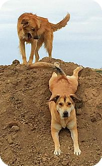 German Shepherd Dog/Husky Mix Dog for adoption in Littleton, Colorado - CORDELL
