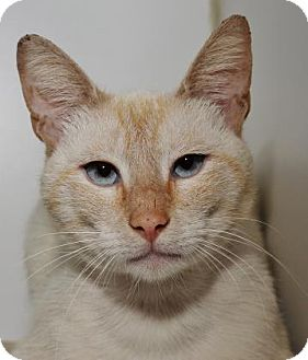 Domestic Shorthair Cat for adoption in Venice, Florida - Mai Tai