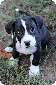 Labrador Retriever Mix Puppy for adoption in Waldorf, Maryland - Skye