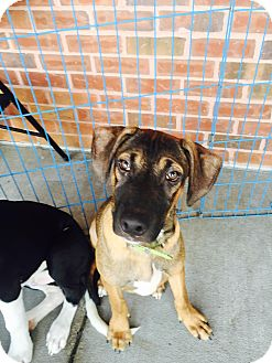 German Shepherd Dog/Labrador Retriever Mix Dog for adoption in ST LOUIS, Missouri - Anderson