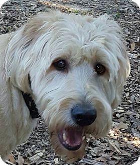 Labradoodle Mix Dog for adoption in Alpharetta, Georgia - Jack