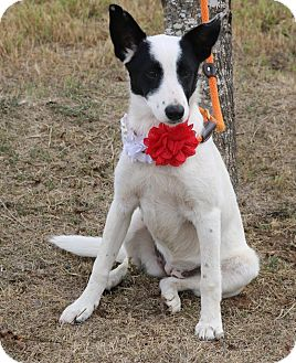 German Shepherd Dog/Labrador Retriever Mix Puppy for adoption in Lacey, Washington - Nancy