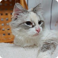 Domestic Mediumhair Cat for adoption in Lebanon, Tennessee - Stormy (C16-122)