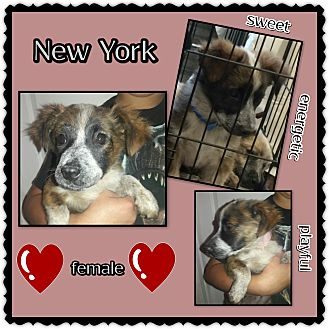 Cattle Dog Mix Puppy for adoption in Richmond, California - New York
