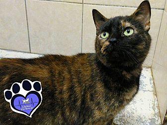Domestic Shorthair Cat for adoption in Huntsville, Alabama - Thelma