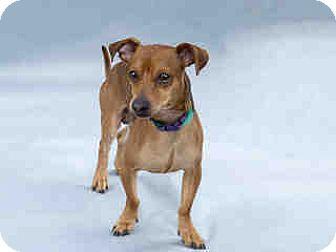 Chihuahua/Dachshund Mix Dog for adoption in Agoura, California - Tiny