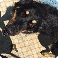 Australian Shepherd Mix Dog for adoption in Joplin, Missouri - Duke