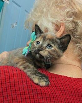Domestic Shorthair Kitten for adoption in Picayune, Mississippi - Sage