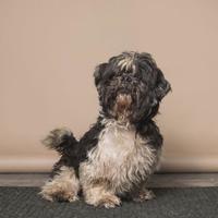 Shih Tzu Mix Dog for adoption in Ravenel, South Carolina - Cha-Chi