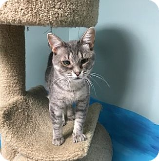 Domestic Shorthair Cat for adoption in Byron Center, Michigan - Purrz