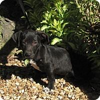 Adopt A Pet :: Webber - Oakland, AR