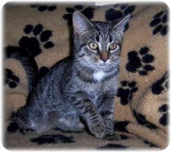 Domestic Shorthair Kitten for adoption in Brighton, Michigan - Hanah